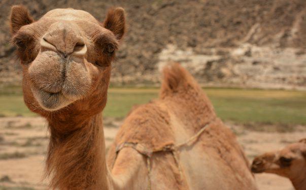 salalah camel edit